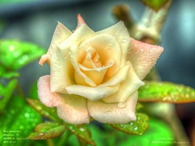 _B060004_ high society rose_ tonywarm,nr150