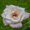 2017-10-13_P1110101_High Society Rose