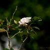 2017-10-10_PA106078_high society rose,clwtr
