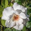 2018-11-19_P1360079_fzk1 ap High Society rose