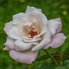 2017-10-13_P1110103_High Society Rose