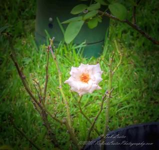 2019-08-13_ 1500 pl5 12x40 f5 6 ap high society rose__8130015