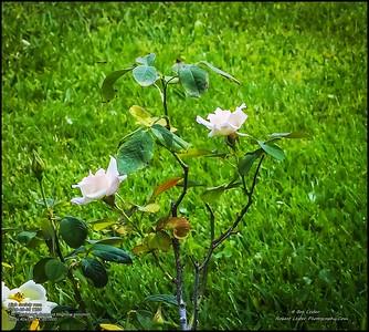 P5300041_High society rose