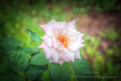 2019-08-13_ 1500 pl5 12x40 f5 6 ap high society rose__8130004