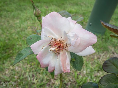 2019-04-18_ pl5 12x40 nature micro high society rose_P4180004