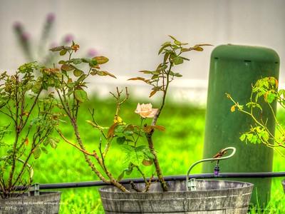 _B060001_ high society rose_ tonywarm,nr150