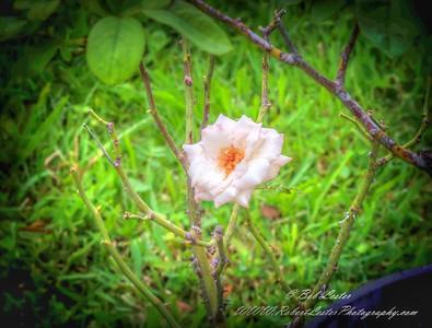 2019-08-13_ 1500 pl5 12x40 f5 6 ap high society rose__8130010
