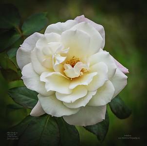 PC220002_ia High Society rose