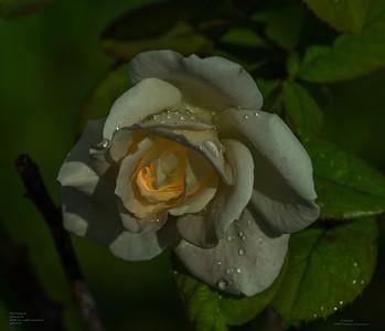 _B090053_ High society rose