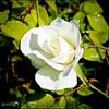 2017-04-26_P4260002_Iceberg White Rose,Clwtr,Fl