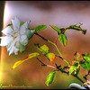 2017-05-07_P5070061_iceberg white rose,Clwtr,Fl_paintly mine,lum1 9