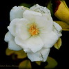 2017-06-07_P6070004_white iceberg rose