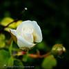 2017-04-26_P4260005_Iceberg White Rose,Clwtr,Fl