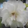 2017-04-26_P4260010_Iceberg White Rose,Clwtr,Fl