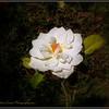 2017-04-23_P4230008_Iceberg White Rose,Clwtr,fl