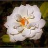 2017-04-23_P4230012_Iceberg White Rose,Clwtr,fl