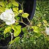 2017-04-26_P4260001_Iceberg White Rose,Clwtr,Fl