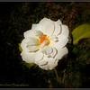 2017-04-23_P4230009_Iceberg White Rose,Clwtr,fl