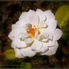 2017-04-23_P4230013_Iceberg White Rose,Clwtr,fl