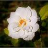 2017-04-23_P4230005_Iceberg White Rose,Clwtr,fl