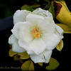 2017-06-07_P6070005_white iceberg rose