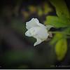 2016-11-23_PB230004_White Iceberg Rose,Clwtr,Fl