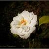 2017-04-23_P4230010_Iceberg White Rose,Clwtr,fl