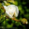 2017-04-26_P4260003_Iceberg White Rose,Clwtr,Fl