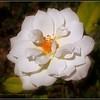 2017-04-23_P4230011_Iceberg White Rose,Clwtr,fl