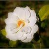 2017-04-23_P4230006_Iceberg White Rose,Clwtr,fl