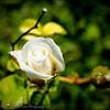 2017-04-26_P4260004_Iceberg White Rose,Clwtr,Fl