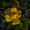 knockout yellow rose   rx10m4  jpg