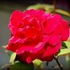 2015-01-21_P1214978_MrLincoln Rose