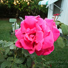 My Roses  (-)   2009-4737