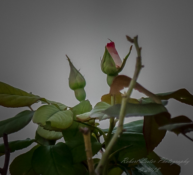 My roses    (manual)   2018-02-27-2270007
