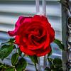 My Roses  (-)   2009-4852