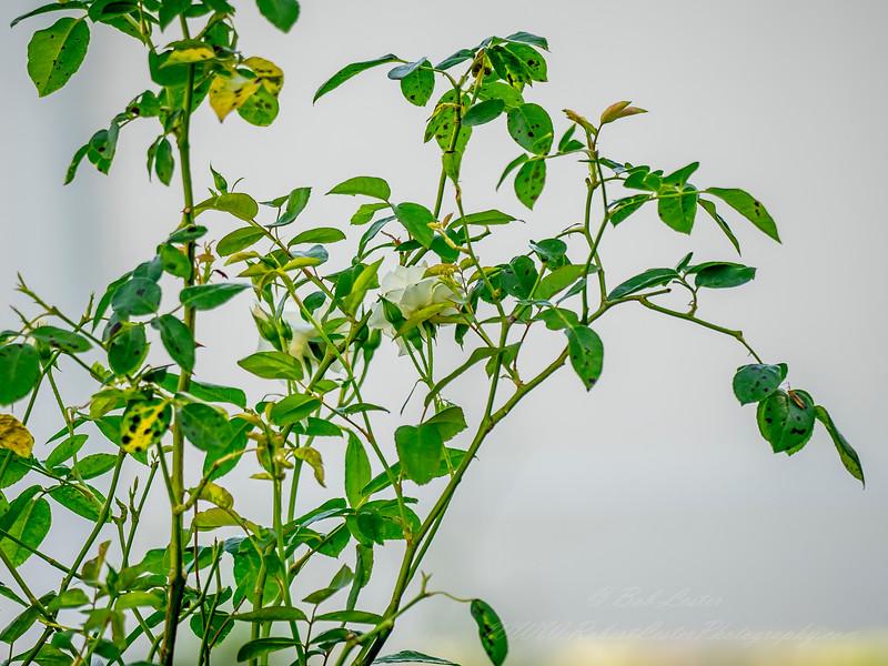 2019-05-22_ m1 300iso200ap rose blooms__5220093