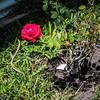 My Roses  (-)   2009-053109