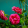 My Roses  (-)   2009-1