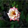 gemini rose..clearwater,florida...sept. 16, 2011