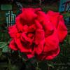 My Roses  (-)   2009-4736
