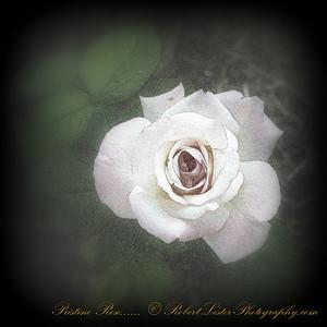 Pristine Rose_IMG_9217__2014-05-23