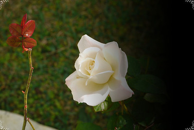 My roses  Dec. 30, 2010
