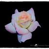 2016-12-04_PC040007_ Pristine Rose,Clwtr,Fl