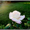 2016-12-04_PC040023_ Pristine Rose,Clwtr,Fl