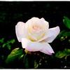 2016-12-04_PC040025_ Pristine Rose,Clwtr,Fl