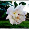 2016-12-04_PC040016_ Pristine Rose,Clwtr,Fl