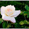 2016-12-04_PC040024_ Pristine Rose,Clwtr,Fl