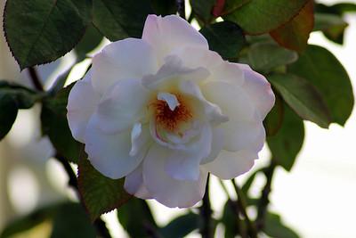 """Pristine Rose"""