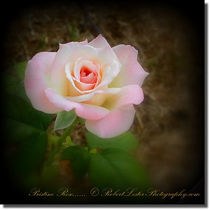 Pristine Rose_IMG_9210__2014-05-23
